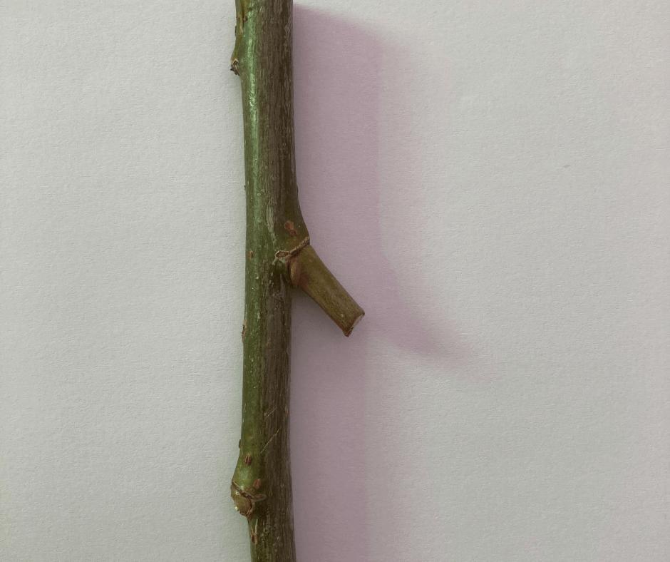 Verzweigung eines Astes für Zwerg schnitzen